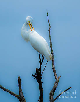 Preening Egret by Ursula Lawrence