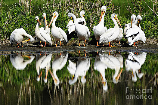 Larry Ricker - Preening Primping Pelicans