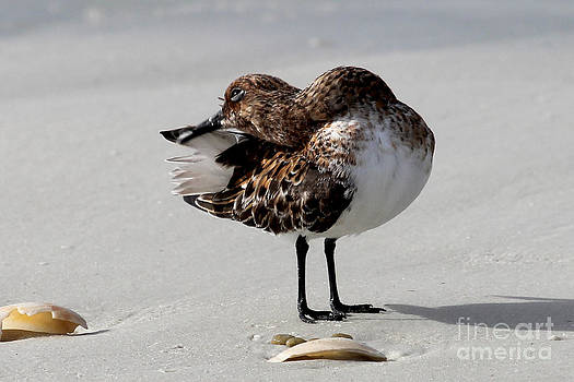 Preening Sanderling by Meg Rousher