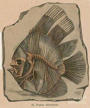 Science Source - Prehistoric Fish Platax Altissimus