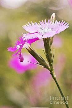 Pretty in Pink by Pamela Gail Torres