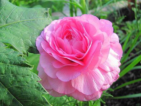 Pretty in Pink by Sandra Martin