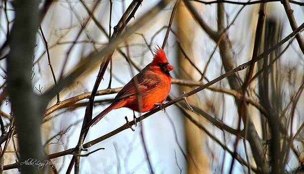 Pretty in Red - Cardinal by Alisha Lang