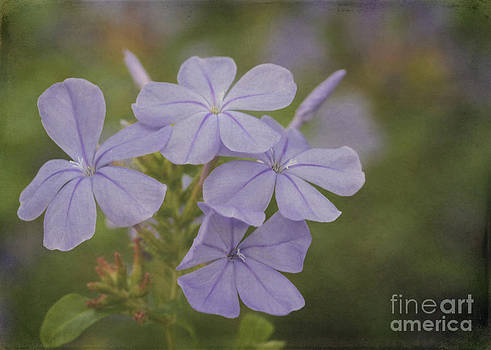 Pretty Lavendar Plumbago Flowers by Sabrina L Ryan
