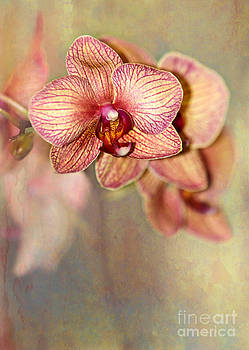 Pretty Peach Phalaenopsis Orchids by Sabrina L Ryan
