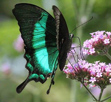 Rosanne Jordan - Pretty Peacock Butterfly