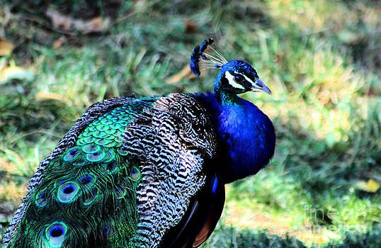 Nick Gustafson - Pretty Peacock