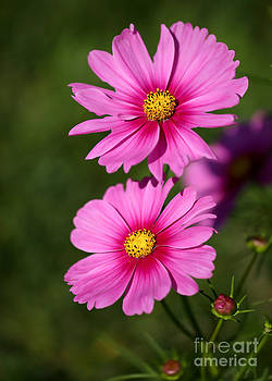 Pretty Pink Cosmos Twins by Sabrina L Ryan