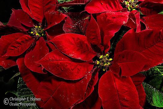 Christopher Holmes - Pretty Poinsettias