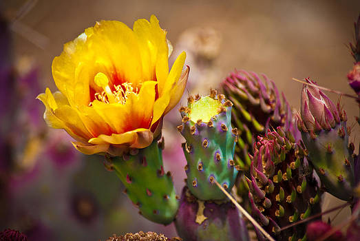 Prickly Pear Cactus by Swift Family