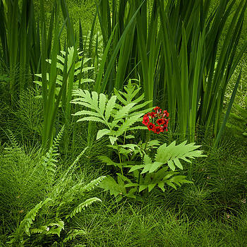Primrose Amidst Ferns by Thomas Lavoie