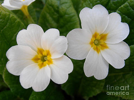 Primula flowers by Snezana Petrovic