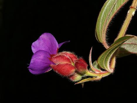 Princess flower by Henry Gray
