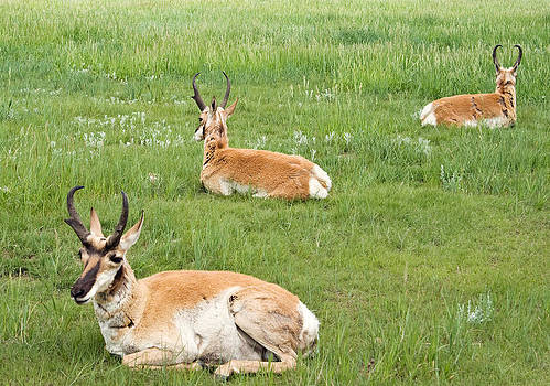 Pronghorns by Jaci Harmsen