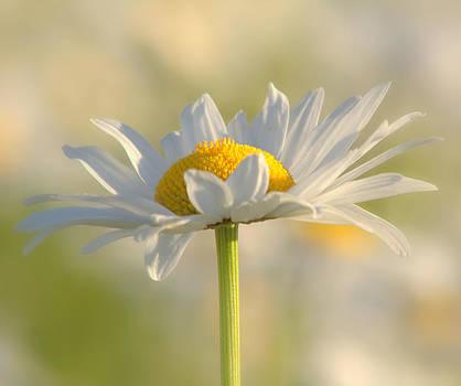 Proud daisy by Monic LaRochelle