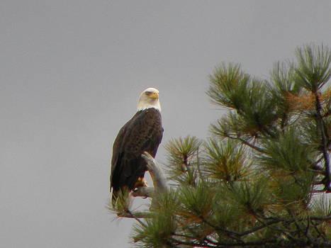 Proud Eagle by Kyla Heath
