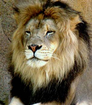 Rosanne Jordan - Proud Lion