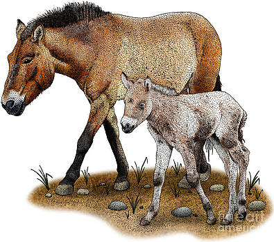 Roger Hall - Przewalskis Horse And Foal