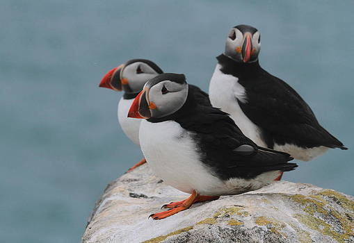 Puffins  by Peter Skelton