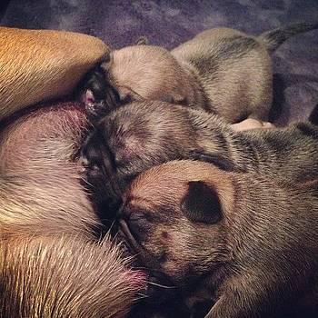 Pug Puppies Feeding. by Shahin Shaygan