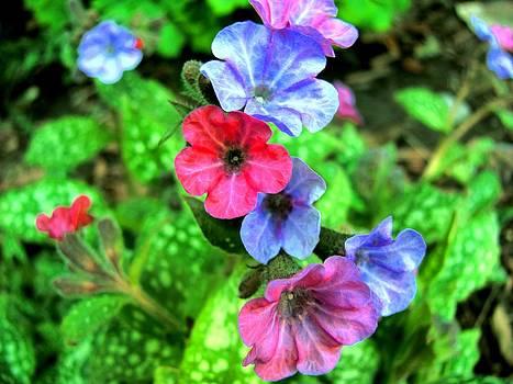 Pulmonaria Blooms by Carolyn Mortensen