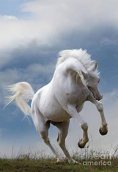 Jean-Michel Labat - Pure Blooded Arabian Horse Rearing