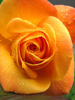 Pure Gold - Roses from the Garden by Brooks Garten Hauschild