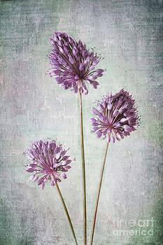 Purple Allium Trio by Dolly Genannt