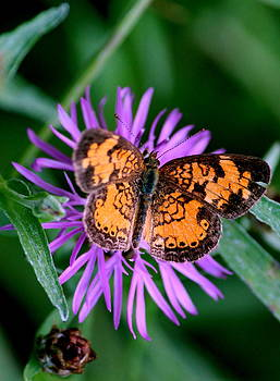 Rosanne Jordan - Purple and Gold Magical Butterfly