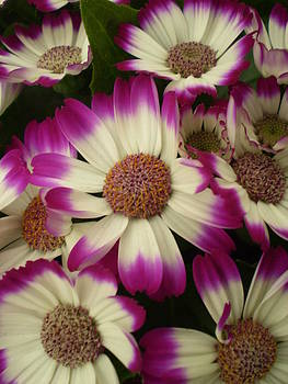 Purple and White Flowers by Fabian Cardon