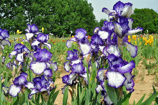 Purple and White Iris by Diane Lent