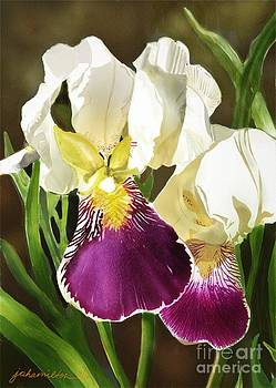 Purple and White Iris by Joan A Hamilton