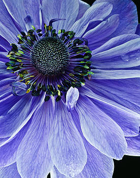 Purple Anemone by Art Barker