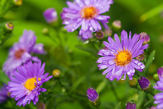 Purple Asters by Roxanna Coeling