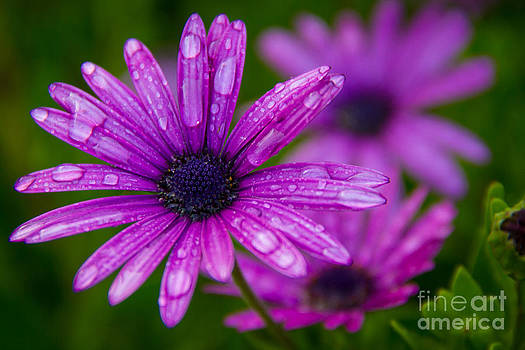 Purple Blooms by Les Abeyta