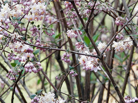 Purple Blossoms by Pema Hou