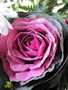 Purple  Brassica Oleracea 3 by Carolyn Mortensen