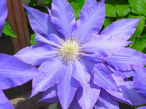 Purple Clematis by Paul Schoenig