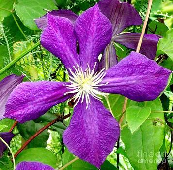 Gail Matthews - Purple Clematis