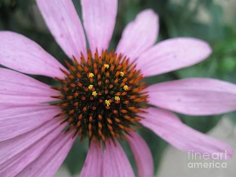 Purple Coneflower by Crissy Boss