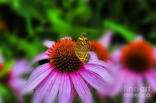Dan Friend - Purple coneflower flower with butterfly