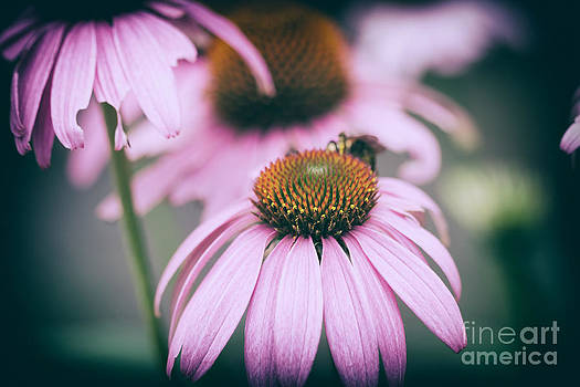 Lisa McStamp - Purple Coneflowers