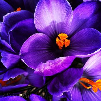 Purple Crocus  by Alicia Whiteford
