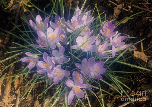 Purple Crocus Bunch In Spring Sunlight by ImagesAsArt Photos And Graphics