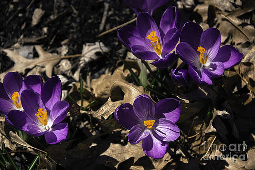 Teresa Mucha - Purple Crocus Group 2