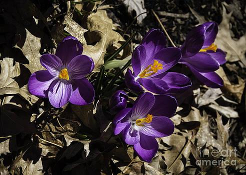 Teresa Mucha - Purple Crocus Group
