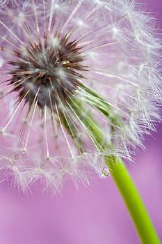 Purple Dandelion by Janice Sullivan