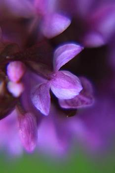 Purple flower perfection  by Daliya Photography