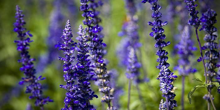 Purple Flowers by Chad Davis