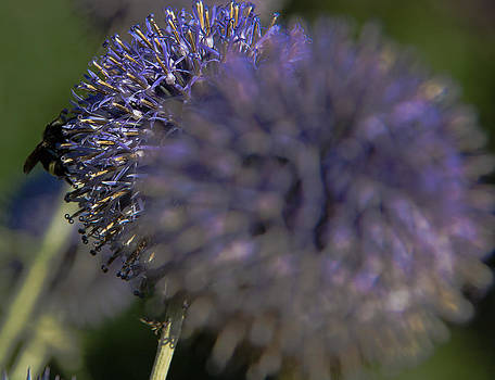 Purple Globe and Bee by Melodie Douglas